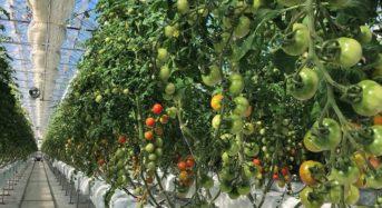 三共木工、太陽光利用型植物工場トマトによる定植2期目の収穫・販売へ