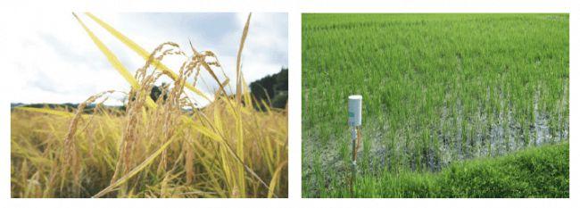 浅草農園ブランドの大福など、ICTを活用した農薬肥料不使用ササニシキが優良事例に選定