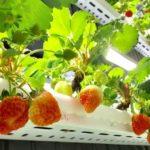 NTT西日本・いちごカンパニー等、IoT技術を活用したイチゴ植物工場プラントを建設