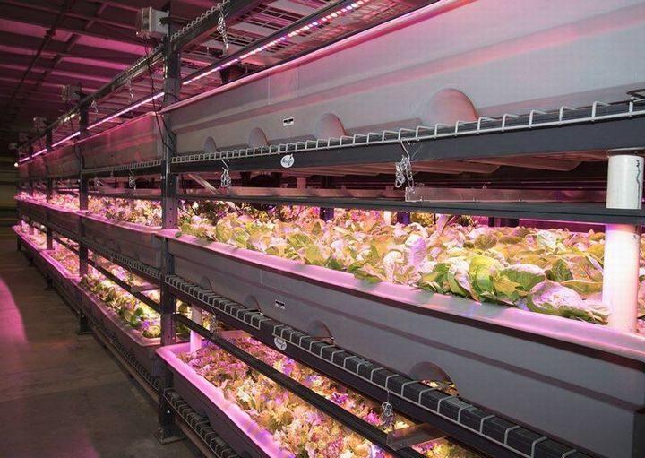 トラスティッド・フレッシュネス社、植物工場にてカナダGAPを取得