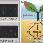 東京大学など、赤色光にて植物に成長に必須なリン栄養の吸収を促進