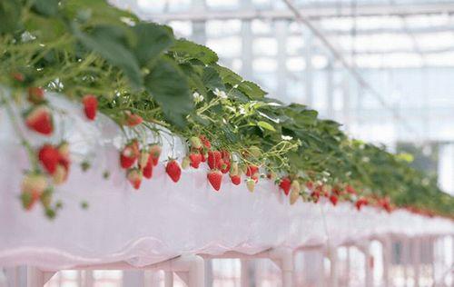 周年イチゴ狩りが可能な東京ストロベリーパーク、イチゴ500個で彩られたイチゴクリスマスツリーが登場