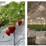 太陽グリーンエナジー、植物工場イチゴをGRA「ミガキイチゴ」ブランドとして販売