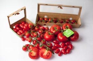 オランダ各社の植物工場技術を結集。中東UAEのピュア・ハーベスト社がトマトを初収穫