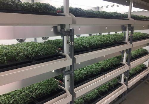 NSGグループ、植物工場による高糖度トマトを新潟県内イオン全店舗にて販売開始