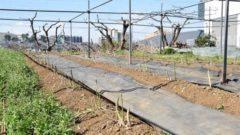 多摩市、1日なら生食でも食べられる東京産アスパラガスが収穫開始