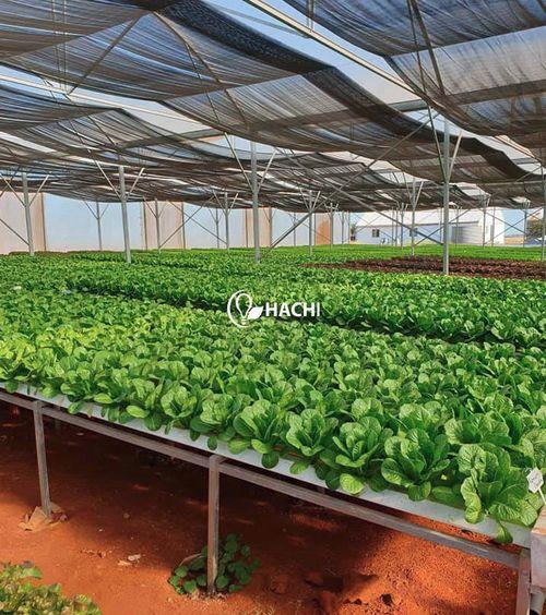 ベトナム・ハチ社の農業IoTシステム、国内の水耕栽培・植物工場への導入が加速