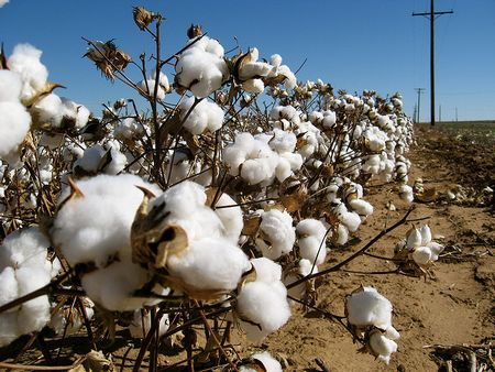 日鉄住金物産、インド・パンジャブ州立農業大と綿花の共同研究開始で合意