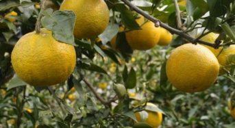 ファイブワン、柑橘類じゃばらの果皮粉末にて花粉症の緩和と抗酸化力の向上