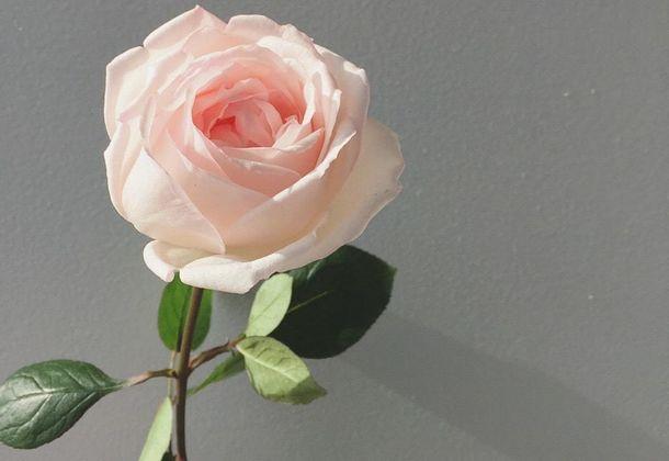 国産・農薬不使用「食べられるバラ」を栽培するROSE LABO、母の日のギフトセットを販売