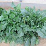 川崎市の伝統野菜「のらぼう菜」従来とは異なる新品種を登録