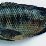 シンガポールは植物工場だけでない。海水で育つ食用の淡水魚「ティラビア」の飼育に成功