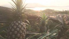 やえやまファーム、芯まで食べられる石垣島産のパイナップル出荷