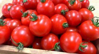 新規参入の精密金属部品メーカーのキャステム、沖縄・広島でトマトとイチゴの初収穫