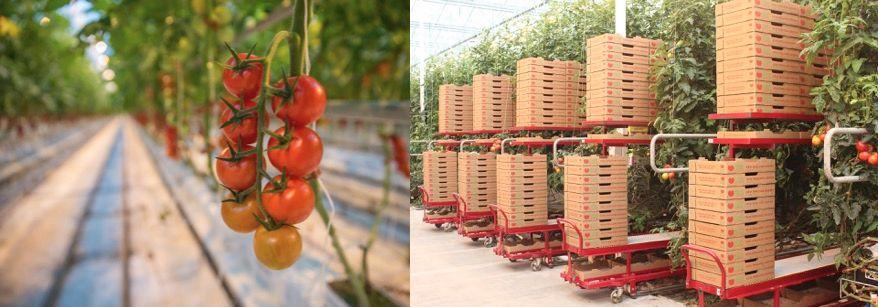 『Backyard Farms』ブランドの植物工場トマトを大都市ニューヨークへ販売。約29haの巨大施設が建設中