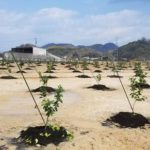 ポッカサッポロ、広島県大崎上島町でレモン栽培を開始