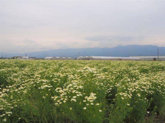 カモミール生産量日本一の岐阜県にて「コアントロー・カモミール・モヒート」が誕生