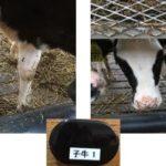 凸版印刷・ホシデン・日本全薬工業、IoTで家畜のストレス管理を実証