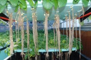 インドにてジャガイモの水耕栽培を開始。噴霧式エアロポニクスで短期・収量増へ