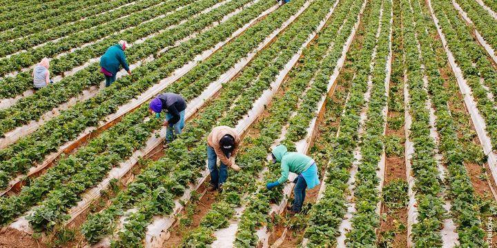 米国FarmWise、大規模な露地栽培の自動除草ロボット・今年末に正式販売を予定