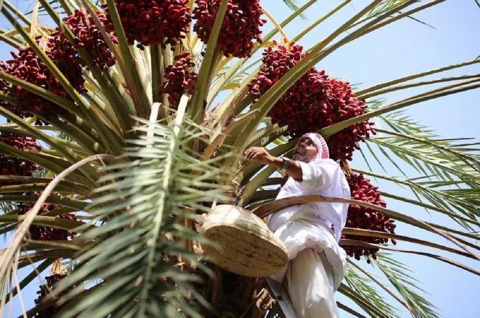 砂漠に覆われているサウジアラビアにも農業が盛んな「緑のオアシス」が存在