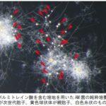 大阪府立大・基礎生物学研究所など、アーバスキュラー菌根菌の純粋培養に世界で初めて成功