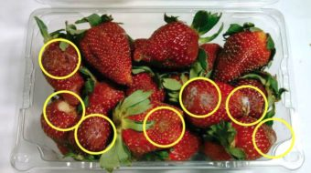 米国の生鮮野菜調査。商品の50%が消費期限より早く傷みが発生・植物工場野菜による新ブランド確立も