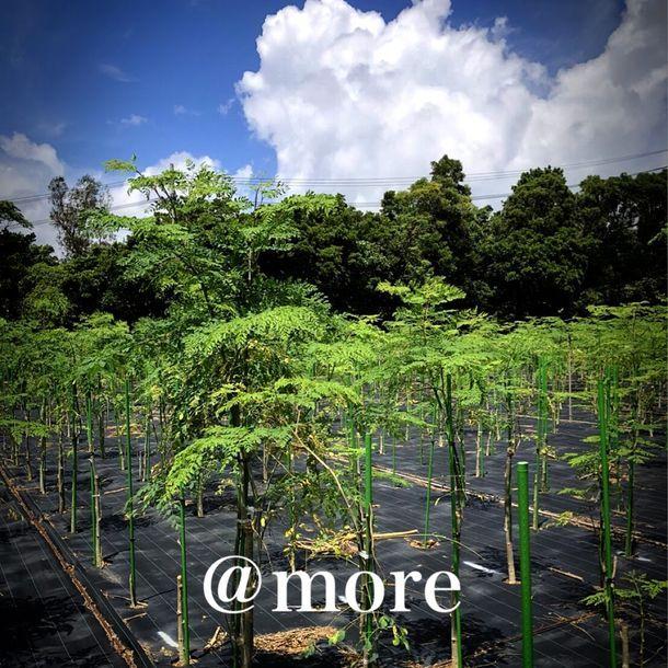 アットモア、沖縄産モリンガやクワンソウなどの機能性植物の原材料開発へ