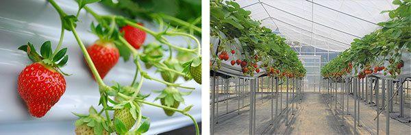 阪神電鉄の子会社、夏イチゴ「すずあかね」の摘み取り体験「六甲山の体験農園」を7月20日にオープン