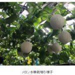 富士通と越谷市、IoTを活用したメロン水耕栽培の研究を開始