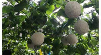 富士通と越谷市、町田式水耕装置にIoTを融合したメロン水耕栽培の研究を開始