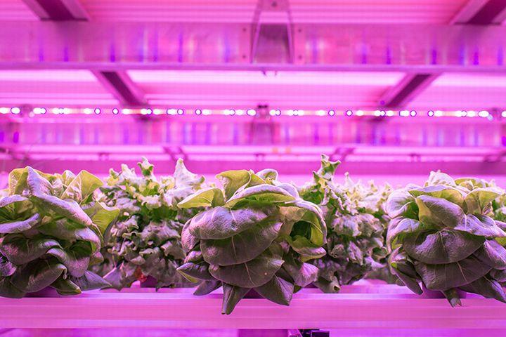 植物工場を展開する英国アストウッド社、フィンランドのLEDメーカーと提携