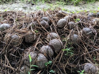 キノコ希少品種「キヌガサタケ」を放置竹林にて栽培。里山再生モデルを提案