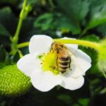 アピ、 ミツバチの代替として受粉を助けるハエ【ビーフライ】の普及拡大へ
