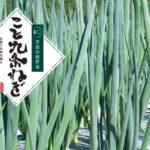 京都の「こと九条ねぎ」が日本青果物ブランドに認定