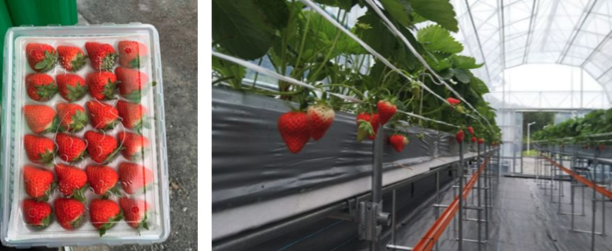 オプティム、日本とロシア・遠隔でのいちご栽培支援に「Smart Field」を提供