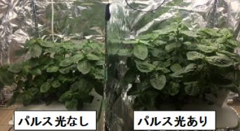 徳島文理大、新型LEDによるパルス照射にてタデ藍の収穫重量が増加。植物工場にも応用へ