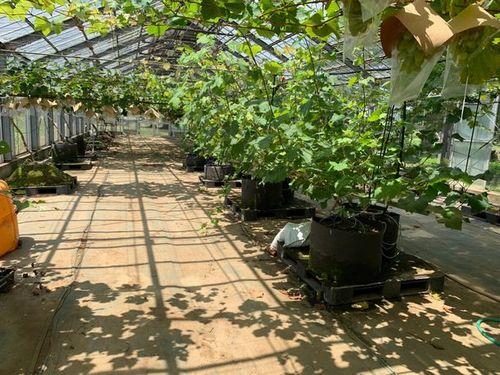 AI潅水施肥システムのゼロアグリ、新たにナシ、ブドウの試験栽培を開始