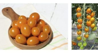 サントリーフラワーズ、春夏シーズンの野菜苗を販売「本気野菜 トマト 純あまオレンジ」
