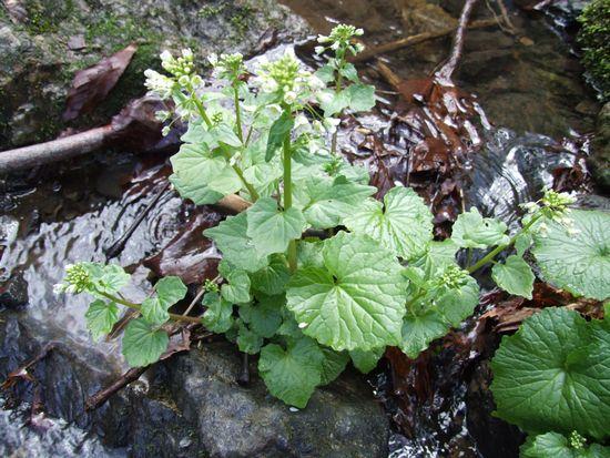 岐阜大・明治大など、日本のワサビのルーツを葉緑体全ゲノム解読から明らかに