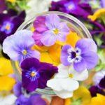 dot science、植物工場による食用花ビオラが、高いポリフェノール含有量を示す結果に