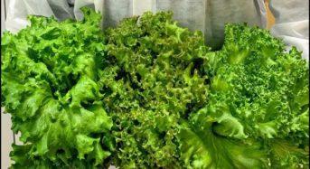 クレオテクノロジー、植物工場にて1株300gの大株リーフレタスの栽培を実現