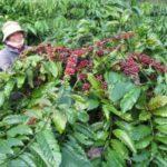 キリンHD、ベトナムでのコーヒー農園を支援。国際的な認証制度の取得へ
