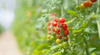 植物工場・高糖度トマト栽培「オスミックアグリ茨城」メックアグリ等による第三者割当増資の引き受け