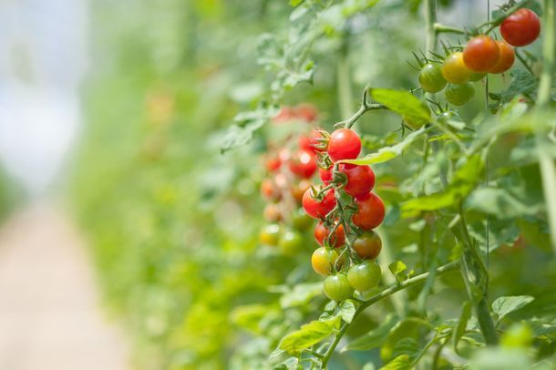 OSMIC、糖度12度保証の高品質トマトを販売