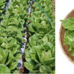 ワタミ、生産者支援のため全国の店舗にてロメインレタスを無料配布