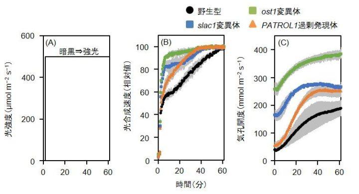 東京大学大学院、気孔をすばやく開かせることで、野外における植物の成長促進に成功