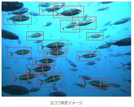 豊田通商とNEC、クロマグロ幼魚のサイズ測定自動化サービスを開発