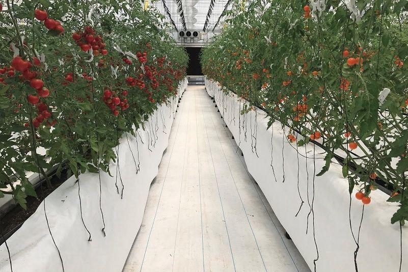 半導体のジェイ・イー・ティ、OSMICと業務提携。植物工場によるミニトマトの生産へ