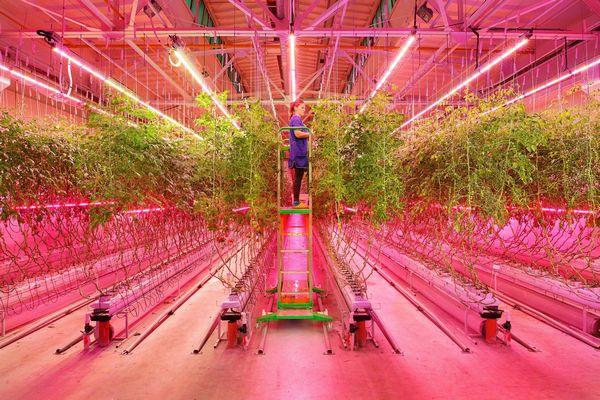 ロシア・リアット社、人工光型植物工場にて果菜類トマトの生産を本格化へ